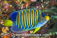 Regal Angelfish Pygoplites diacanthus image