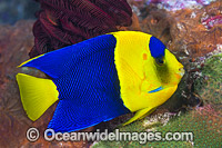 Bicolor Angelfish Centropyge bicolor photo