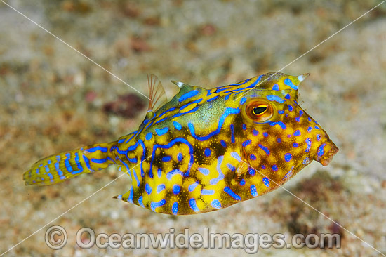Thorny-back Cowfish (Lactoria fornasini). Also known as Boxfish. Found throughout the Indo-West Pacific, including the Great Barrier Reef, Australia.