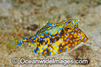 Thorn-back Cowfish Lactoria fornasini image