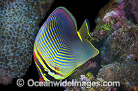 Pacific Triangular Butterflyfish Photo - Gary Bell
