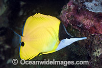 Long-nose Butterflyfish Photo - Gary Bell