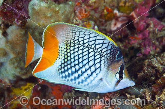 Cross-hatch Butterflyfish (Chaetodon xanthurus). Also known as Yellow-tailed Butterflyfish. Found throughout the Indo-West Pacific. Photo taken off Anilao, Philippines. Within the Coral Triangle. Photo - Gary Bell