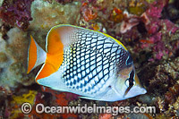 Cross-hatch Butterflyfish Photo - Gary Bell