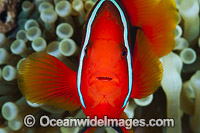 Spine-cheek Anemonefish Photo - Gary Bell