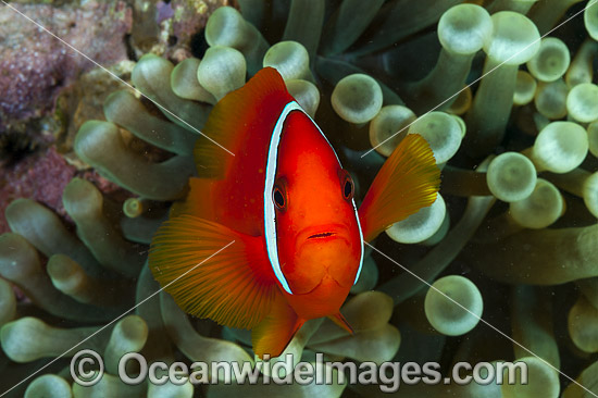 Spine-cheek Anemonefish (Premnas biaculeatus). Found in association with large sea anemones throughout West Pacific, ranging to Andaman Sea, including Great Barrier Reef and Coral Triangle. Photo - Gary Bell