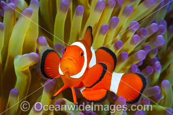 Western Clownfish (Amphiprion ocellaris). Found in association with large sea anemones throughout Indonesia, ranging to Andaman Sea. Also found in north-western Australia. Photo - Gary Bell
