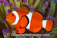 Western Clownfish Photo - Gary Bell