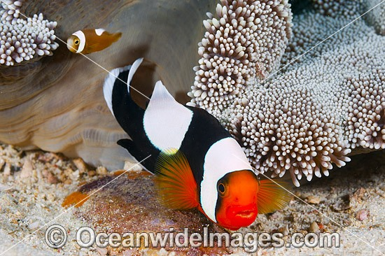 Panda Clownfish (Amphiprion polymnus), adult and juvenile with eggs. Also known as Saddleback Anemonefish. Found in association with sea anemones throughout the Indo-West Pacific, with geographical colour variations. Anilao, Philippines. Coral Triangle. Photo - Gary Bell