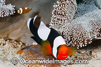 Panda Clownfish adult with eggs Photo - Gary Bell