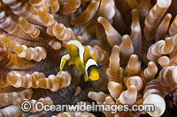 Clark's Anemonefish juvenile Photo - Gary Bell