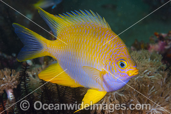 Golden Damsel (Amblyglyphidodon aureus). Also known as Lemon Damsel, Yellow Damsel and Golden Sergeant. Found throughout the West Pacific. Photo taken of Anilao, Philippines. Within the Coral Triangle.