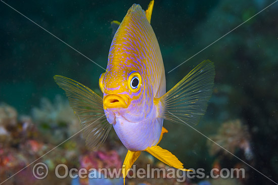 Golden Damsel Coral Triangle photo