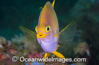 Golden Damsel Coral Triangle Photo - Gary Bell