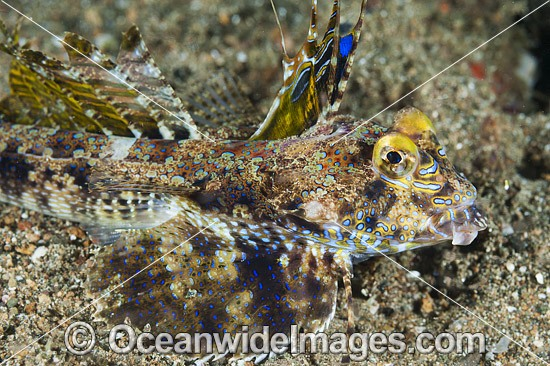 Fingered Dragonet (Dactylopus dactylopus) - male. Found throughout West Pacific and eastern Indian Ocean. Photo taken at Anilao, Philippines. Within the Coral Triangle.