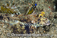 Fingered Dragonet male Photo - Gary Bell