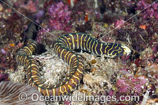 Snake Eel (Myrichthys paleracio). A new species recently discovered on the reefs off Anilao, Philippines. Within the Coral Triangle.