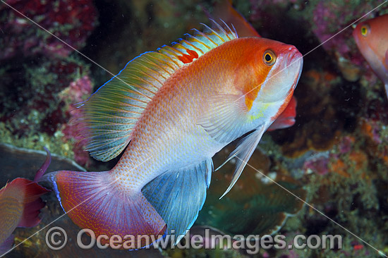 Pink Basslet (Pseudanthias hypselosoma), male. Also known as Stocky Anthias. Found throughout the Indo-West Pacific, including the Great Barrier reef, Australia. Photo - Gary Bell