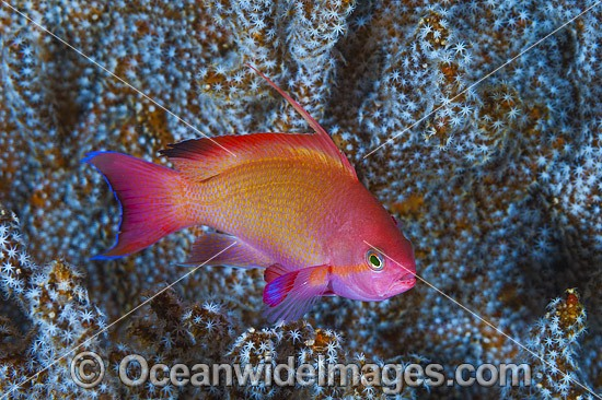 Orange Fairy Basslets (Pseudanthias cf cheirospilos), male. Found throughout the Indo Pacific, including the Great Barrier Reef, Australia. Photo - Gary Bell