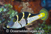 Mimic Filefish Photo - Gary Bell