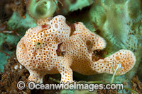 Painted Frogfish Antennarius pictus Photo - Gary Bell