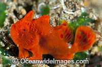 Frogfish Coral Triangle Photo - Gary Bell