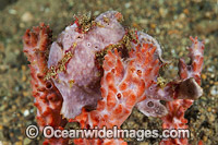 Giant Frogfish on sponge Photo - Gary Bell