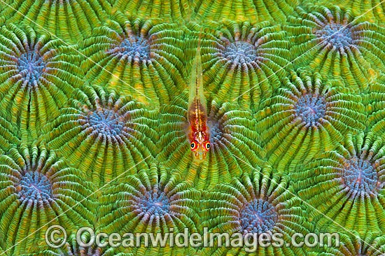 Reef Goby resting on Favid Coral photo