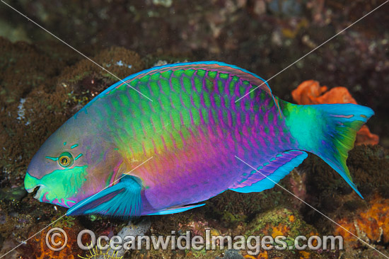 Green-blotched Parrotfish (Scarus quoyi). Found throughout the Indo-West Pacific, including the Great Barrier Reef, Australia. Photo taken off Anilao, Philippines. Within the Coral Triangle.