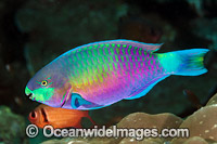 Green-blotched Parrotfish Photo - Gary Bell