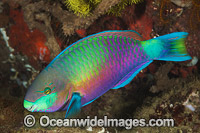 Green-blotched Parrotfish photo