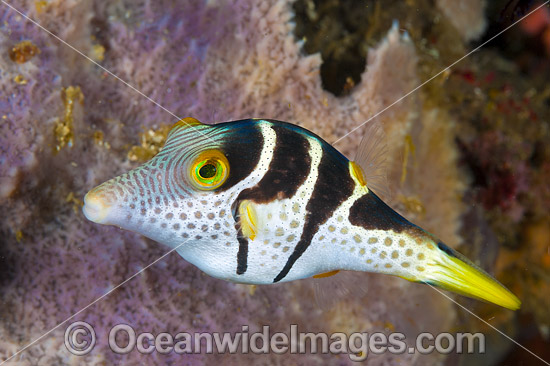 Saddled Pufferfish (Canthigaster valentini). Also known as Black-saddled Toby. This fish is also mimicked by the Mimic Filefish. Found throughout the Indo Pacific, including the Great Barrier Reef, Australia.