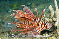 Lionfish Coral Triangle photo