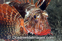 Dwarf Lionfish Coral Triangle photo