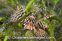 Dwarf Lionfish photo