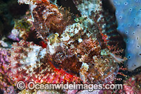 Small-scale Scorpionfish photo