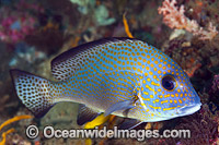 Gold-spotted Sweetlips Photo - Gary Bell