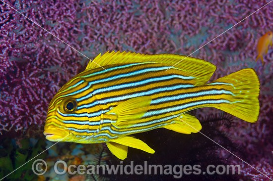 Ribbon Sweetlips (Plectorhinchus polytaenia). Also known Striped and Yellow-ribbon Sweetlips. Found throughout the Indo-Pacific. Photo taken at Anilao, Philippines. Within the Coral Triangle.