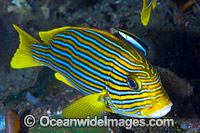 Wrasse cleaning Ribbon Sweetlips Photo - Gary Bell