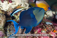 Wrasse cleaning Blue Triggerfish Photo - Gary Bell