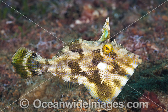 Spotted Filefish (Pseudomonacanthus macrurus). Also known as Strapweed Filefish. Found throughout West Pacific, Philippines to northern Australia, including Great Barrier Reef. Within the Coral Triangle.