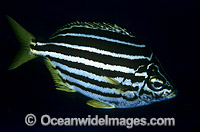 Mado Atypichthys strigatus photo