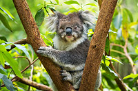 Koala resting in a tree Photo - Gary Bell