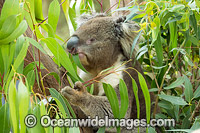 Koala eating gum leaves Photo - Gary Bell