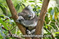 Koala sleeping Photo - Gary Bell