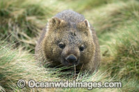 Tasmanian Wombat Photo - Gary Bell