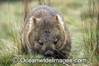 Tasmanian Wombat photo