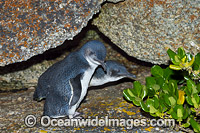 Fairy Penguins Photo - Gary Bell