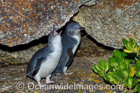 Fairy Penguin (Eudyptula minor). Also known as Fairy Penguin, is the world's smallest species of Penguin. Found on the coastlines of southern Australia and New Zealand, with possible records from Chile. Photo taken at Bicheno, Tasmania, Australia. Photo - Gary Bell