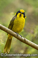 Helmeted Honeyeater Lichenostomus melanops cassidix photo